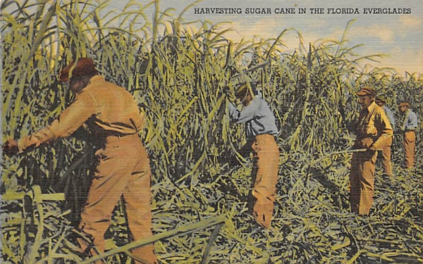 Harvesting Sugar Cane  Everglades, Florida Postcard