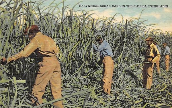 Harvesting Sugar Cane in the Florida Everglades Postcard
