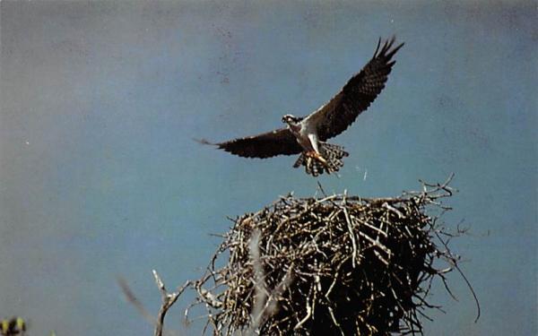 Osprey and nest, Roberts River Everglades National Park, Florida Postcard