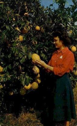 Lemon Ponderosa - Fort Lauderdale, Florida FL Postcard