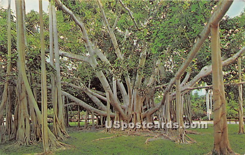 Banyan Tree - Fort Myers, Florida FL Postcard