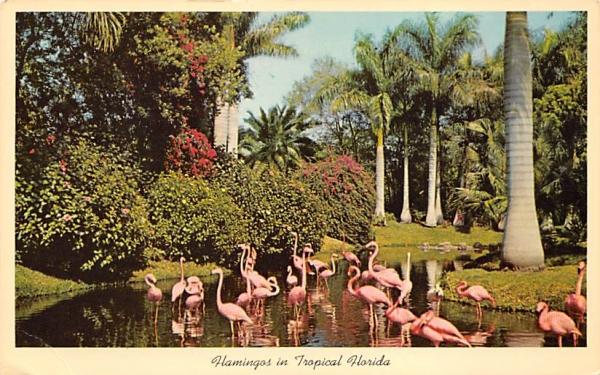 Flamingos in the Tropical Florida, USA Postcard