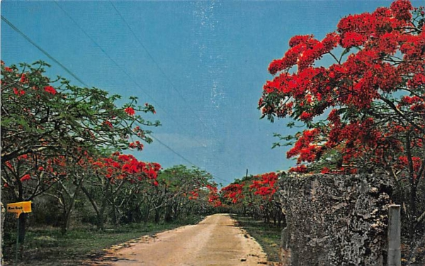 Row of Royal Poinciana's Key Largo Florida Keys Postcards, Florida