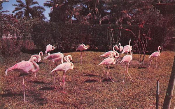 Flamingos create a memorable scene Florida Postcard