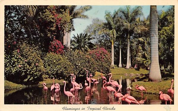 Flamingos in Tropical Florida, USA Postcard