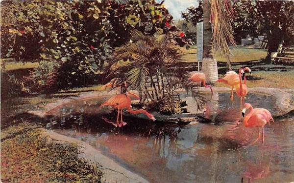 Tropical Florida's Graceful Flamingos Postcard