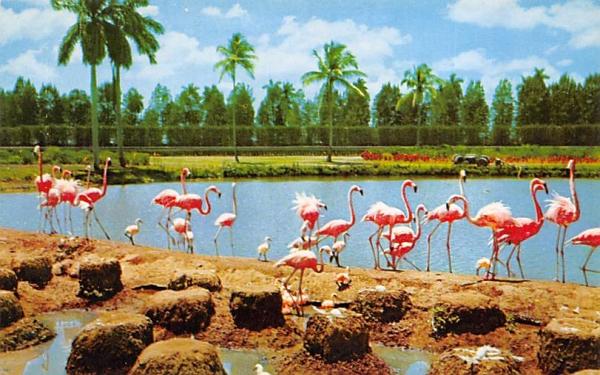Flamingos and Nests at Hialeah Race Course Florida Postcard
