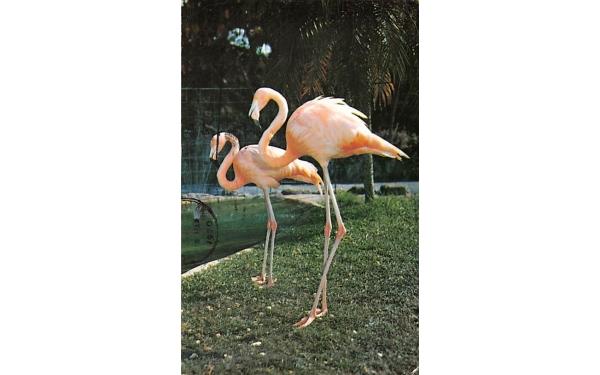 The Colorful Flamingos are a Symbol for Florida, SUA Postcard