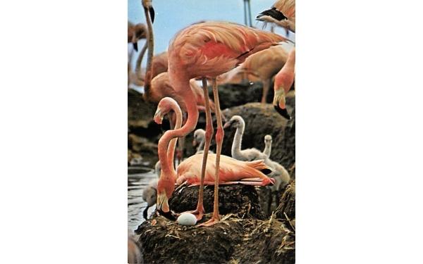 Hialeah Race Course Flamingos, Florida Postcard