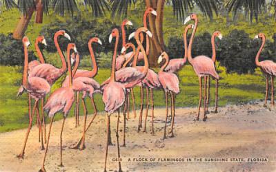 A Flock of Flamingos in the Sunshine State, FL, USA Florida Postcard