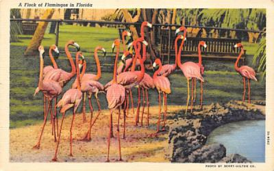 A Flock of Flamingos in Florida, USA Postcard