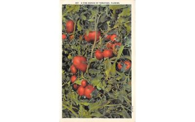 A Fine Bunch of Tomates Fruit & Vegitables, Florida Postcard