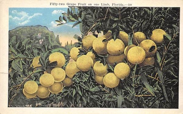 Fifty-tow Grape Fruit on one Limb Grapefruit Groves, Florida Postcard