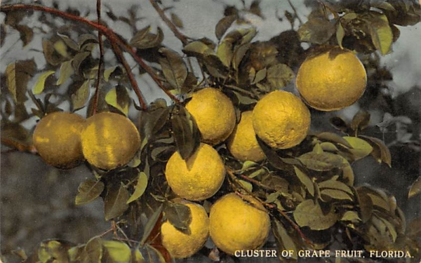 Cluster of Grape Fruit Grapefruit Groves, Florida Postcard
