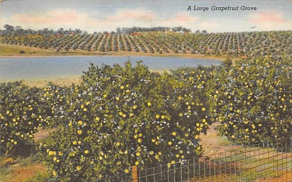 A Large Grapefruit Grove Grapefruit Groves, Florida Postcard