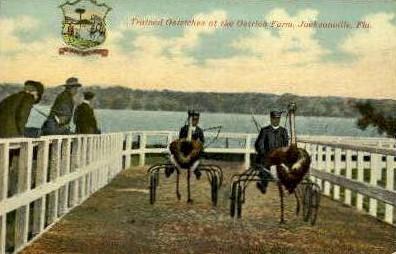 Ostrich Farm - Jacksonville, Florida FL Postcard
