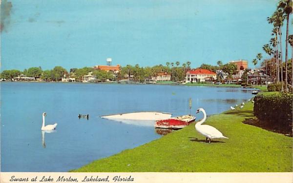 Swans at Lake Morton Lakeland, Florida Postcard