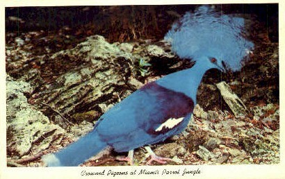 Crowned Pigeons - Miami, Florida FL Postcard