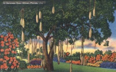 Sausage Tree - Miami, Florida FL Postcard
