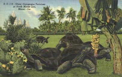 Galapagos Tortoises - Miami, Florida FL Postcard