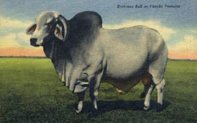 Brahman Bull - Misc, Florida FL Postcard