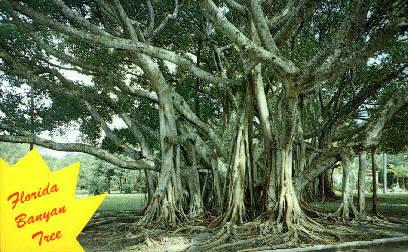 Banyan Tree - Misc, Florida FL Postcard