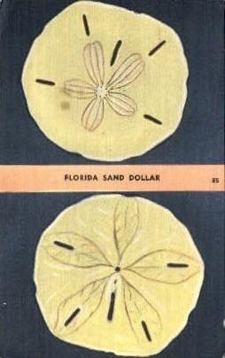 Sand Dollar - Misc, Florida FL Postcard