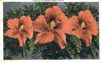Hibiscus Blossoms - Misc, Florida FL Postcard