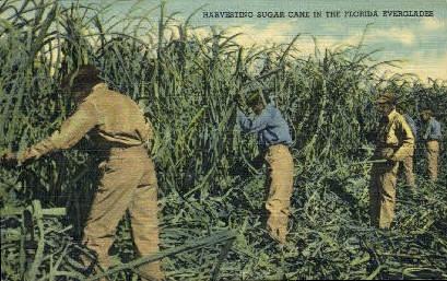 Sugar Cane - Misc, Florida FL Postcard