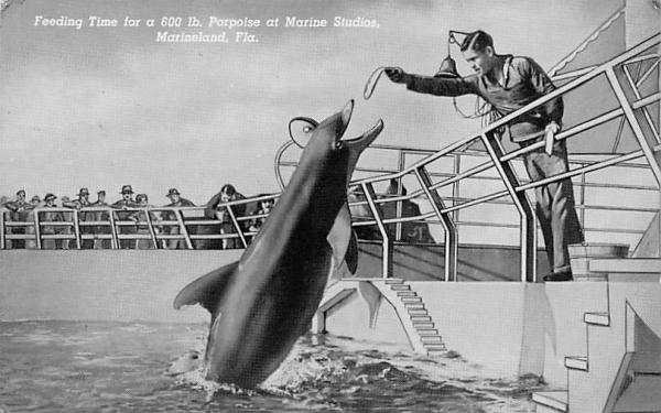 Feeding Time 600 lbs. Porpoise at Marine Studios Marineland, Florida Postcard