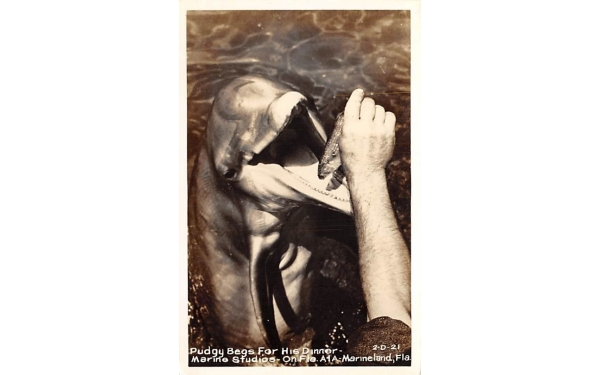 Pudgy Begs For His Dinner - Marine Studios Marineland, Florida Postcard