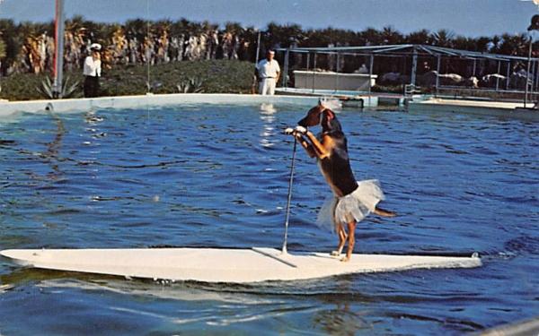 Trained Dog Rides, Surfboard, Porpoise, Marine Studios Marineland, Florida Postcard