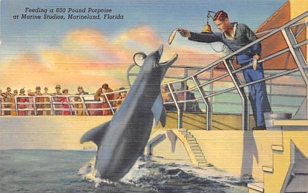 Feeding a 600 Pound Porpoise at Marine Studios Marineland, Florida Postcard