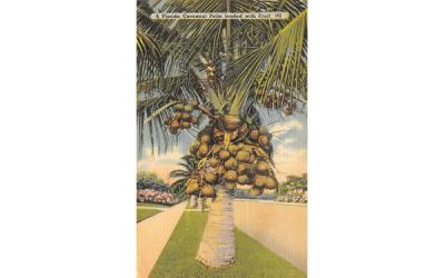 A Florida Cocoanut Palm loaded with Fruit Postcard