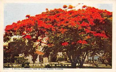 A Royal Poinciana Tree in Full Bloom Misc, Florida Postcard