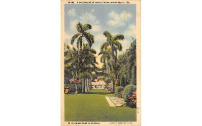 A Colonnade of Royal Palms Miami Beach, Florida Postcard