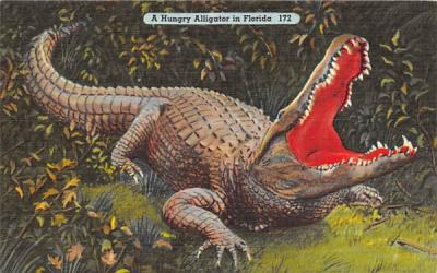 A Hungry Alligator in Florida, USA Postcard
