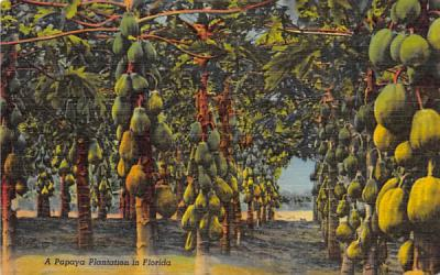 A Papaya Plantation in Florida, USA Postcard