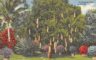 A Sausage Tree in Florida, USA Postcard