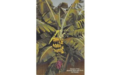 Banana Tree showing Bud Misc, Florida Postcard