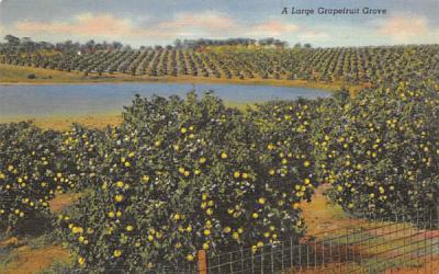 A Large Grapefruit Grove Misc, Florida Postcard