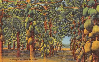A Papaya Plantation in Florida, USA Postcard