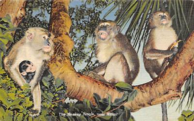 The Monkey Jungle Miami, Florida Postcard