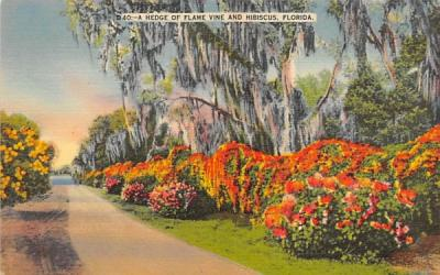 A Hedge of Flame Vine and Hibiscus, FL, USA Misc, Florida Postcard