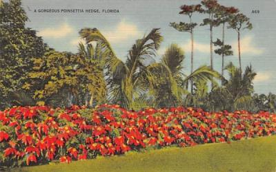 A Gorgeous Poinsettia Hedge Misc, Florida Postcard