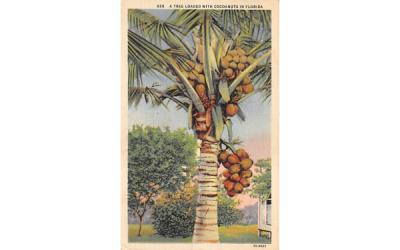 A Tree Loaded with Cocoanuts in Florida Postcard