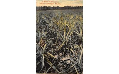 A Field of Pineapples, Grown in the Open, FL, USA Misc, Florida Postcard