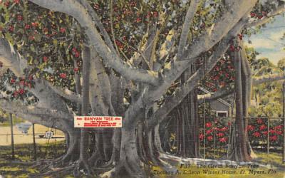 Banyan Tree (Ficus Bengalensis) Misc, Florida Postcard