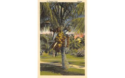 A Coconut Palm Misc, Florida Postcard