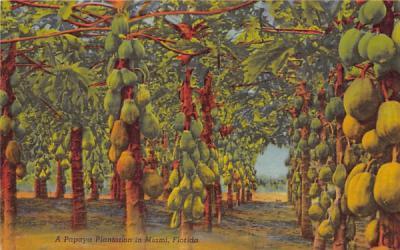 A Papaya Plantation  Miami, Florida Postcard